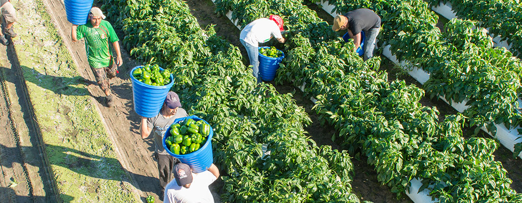 picking-bell-peppers